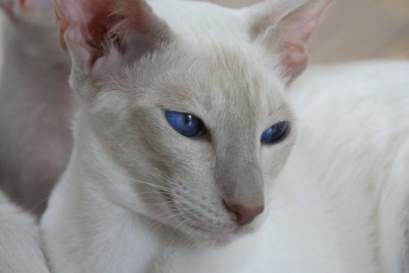 portrait, white cat, cute, animal, blue eyes, kitten, fur