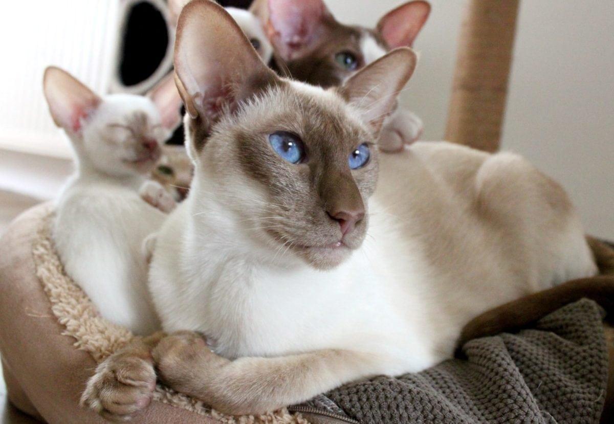 Siamese cat, portrait, cute, kitten, animal, feline, furniture