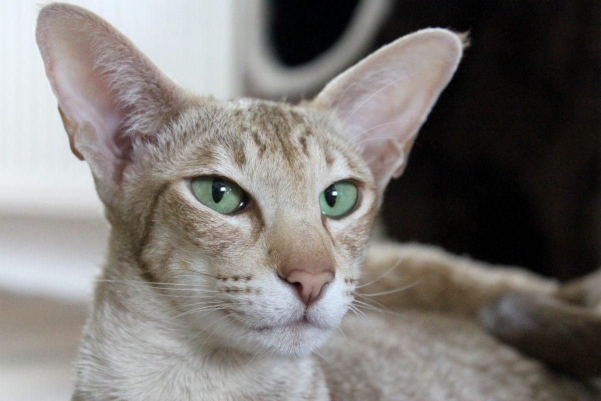 oeil vert, portrait, chat brun, animal, mignon, fourrure, chaton domestique