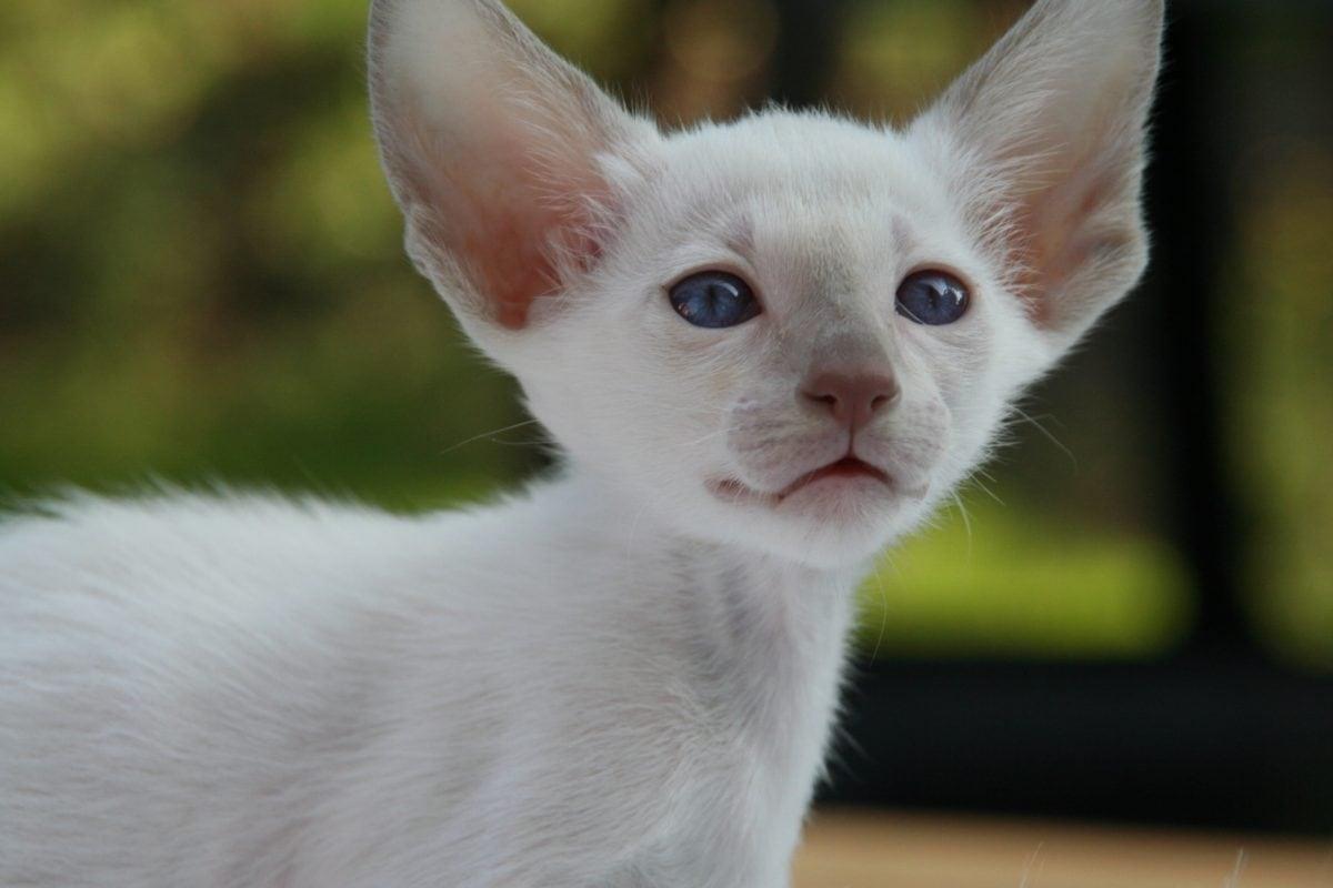 cute, portrait, animal, domestic cat, kitten, young, fur, feline, white