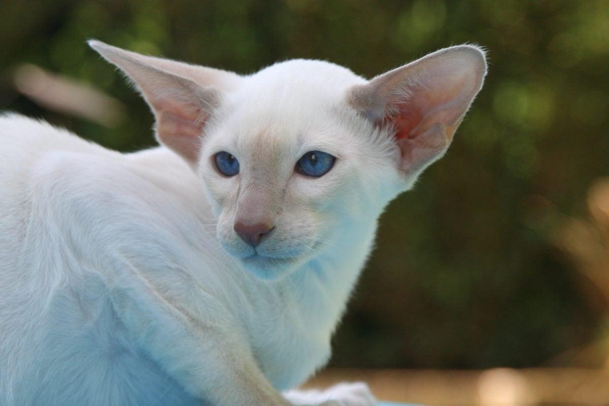 cute, portrait, eye, domestic cat, animal, kitten, feline, white kitty, fur