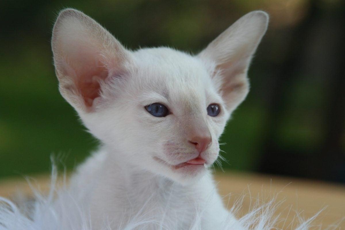 Eye, cute, portret, dier, tamme kat, wit kitten, jong, bont, katachtige