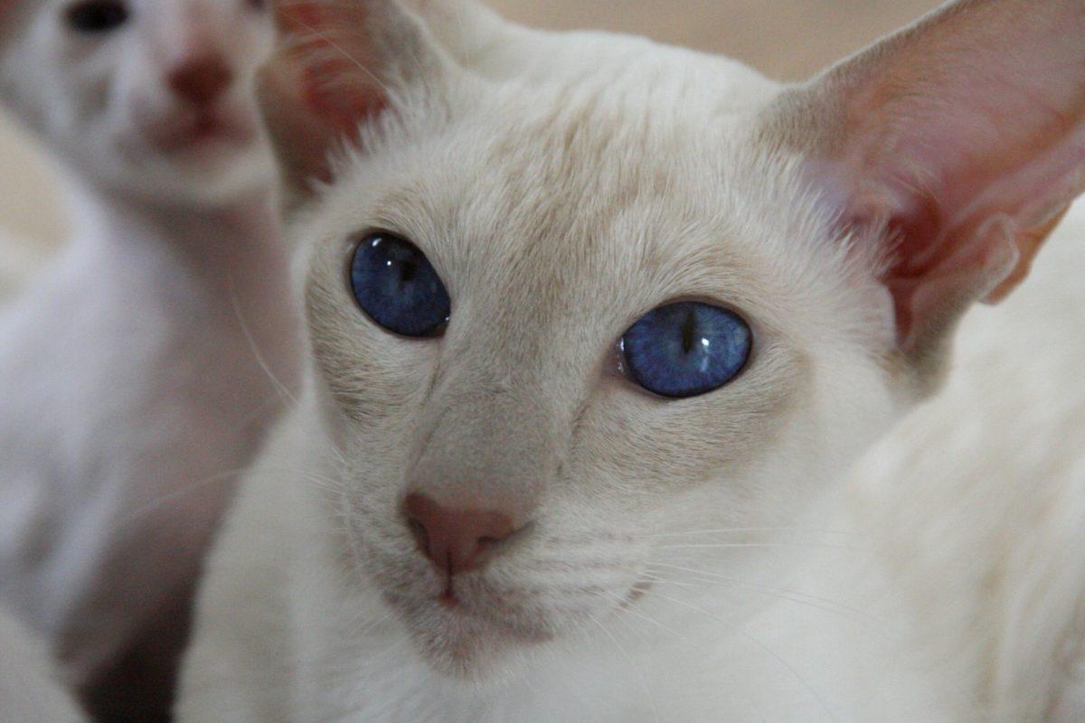 син око, портрет, животно, глава, око, бял котка, коте, кожа