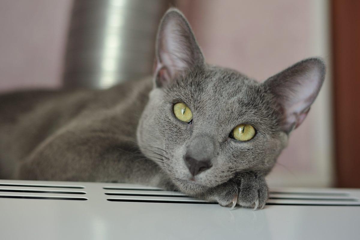 animal, pele, olho, bonito, retrato, gato cinzento, vaquinha, interior, gatinho