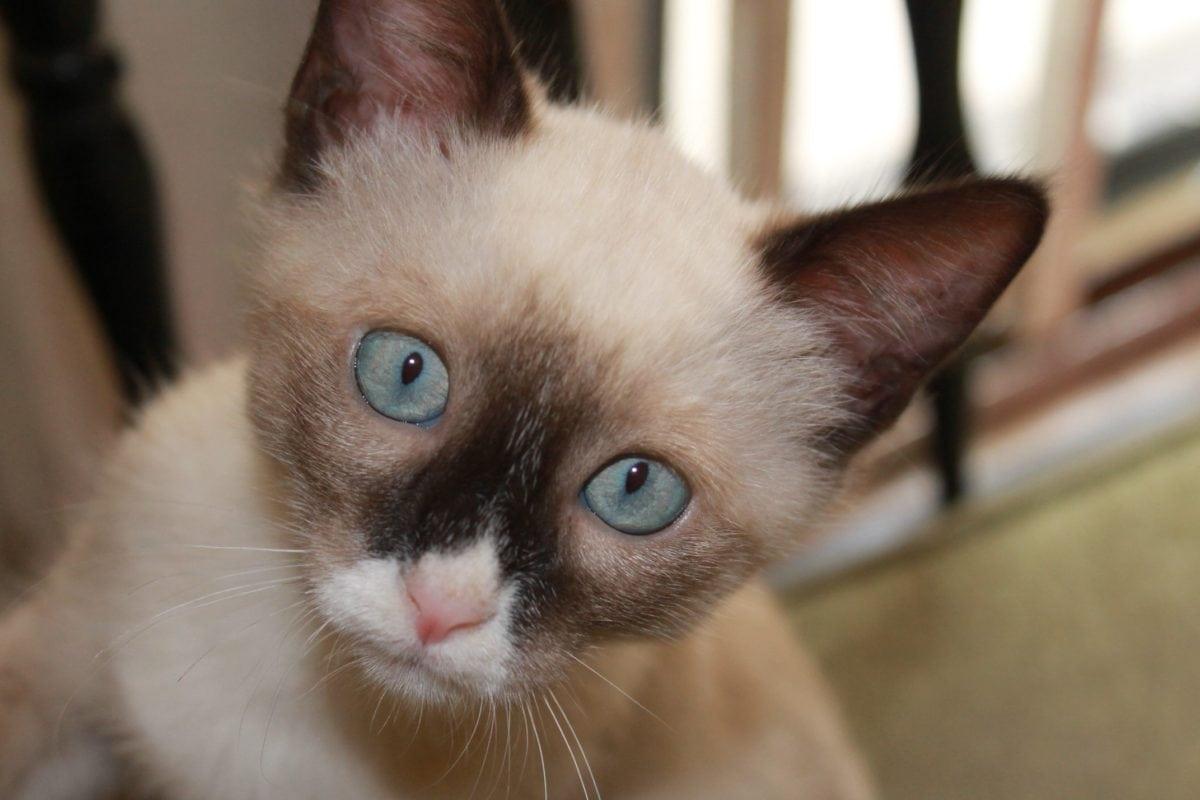 znatiželjan, mačka, portret, mače, uho, smeđe krzno, glava, brkovi, oko