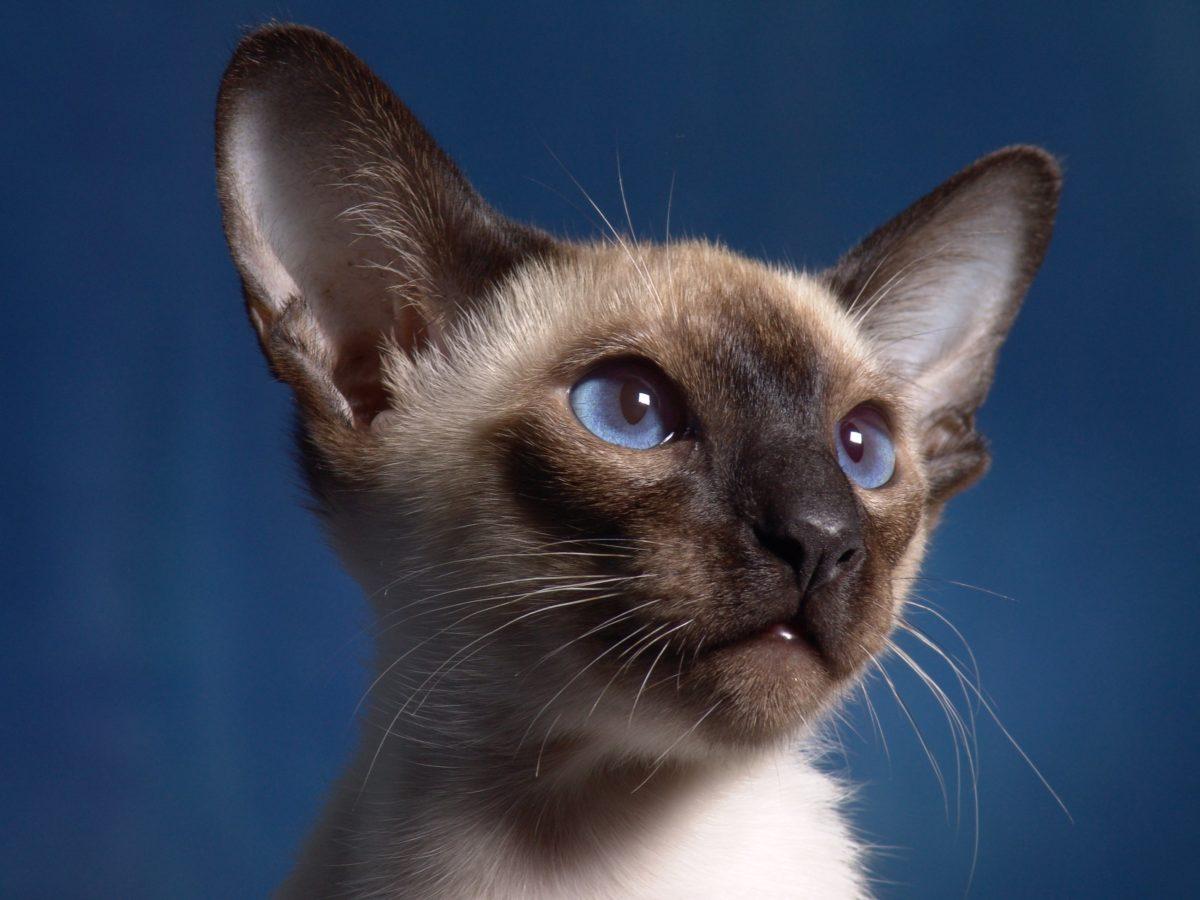 Siva mačka, mače, životinja, slatka, mačkica, krzno, oči, brkovi, Kitty