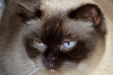 roztomilý, kožešina, domácí kočka, zvědavá kočka, portrét, oko, zvíře, nos, kotě, vousy