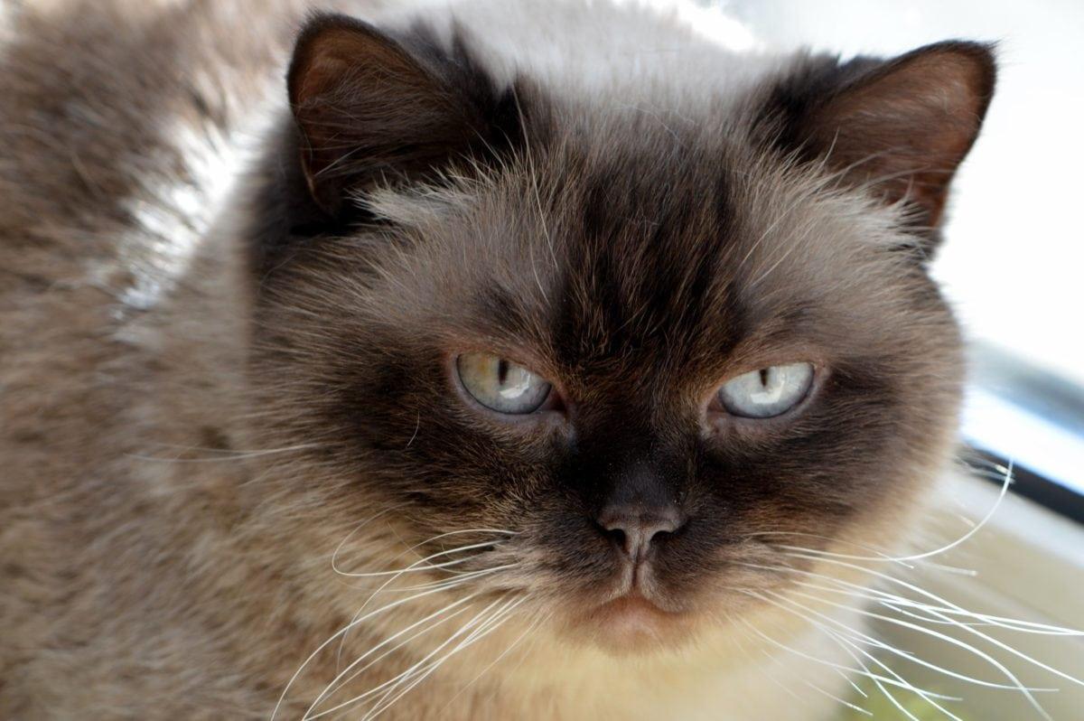 cute, portrait, cat, eye, animal, domestic kitten, fur, head, kitty