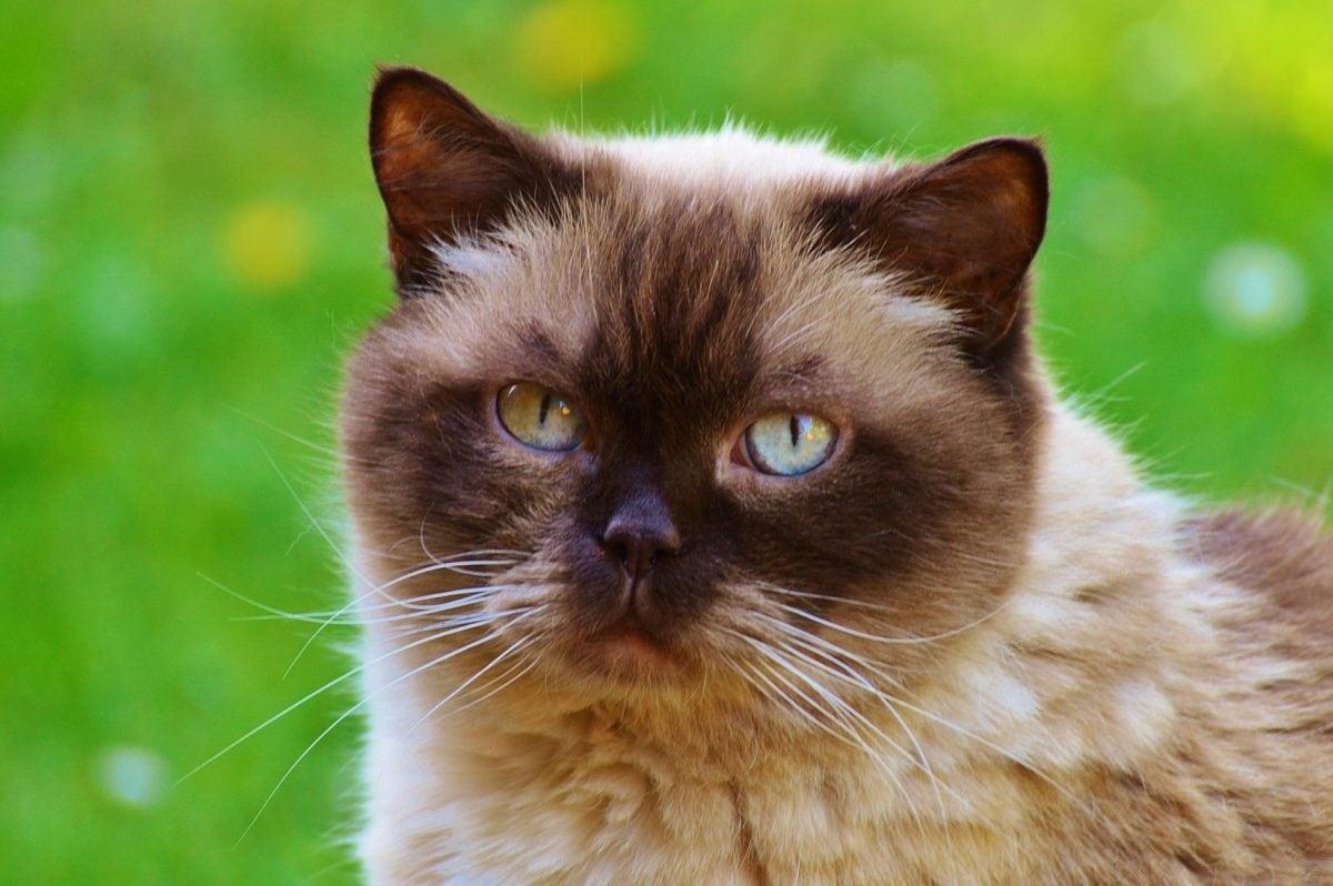 頭、ペルシャ猫、目、毛皮、動物、子猫、日光、キティ、ひげ