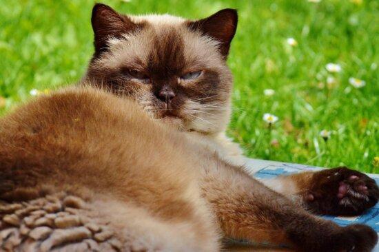 niedlich, Hauskatze, Tier, Portrait, Kätzchen, Fell, Schnurrhaare