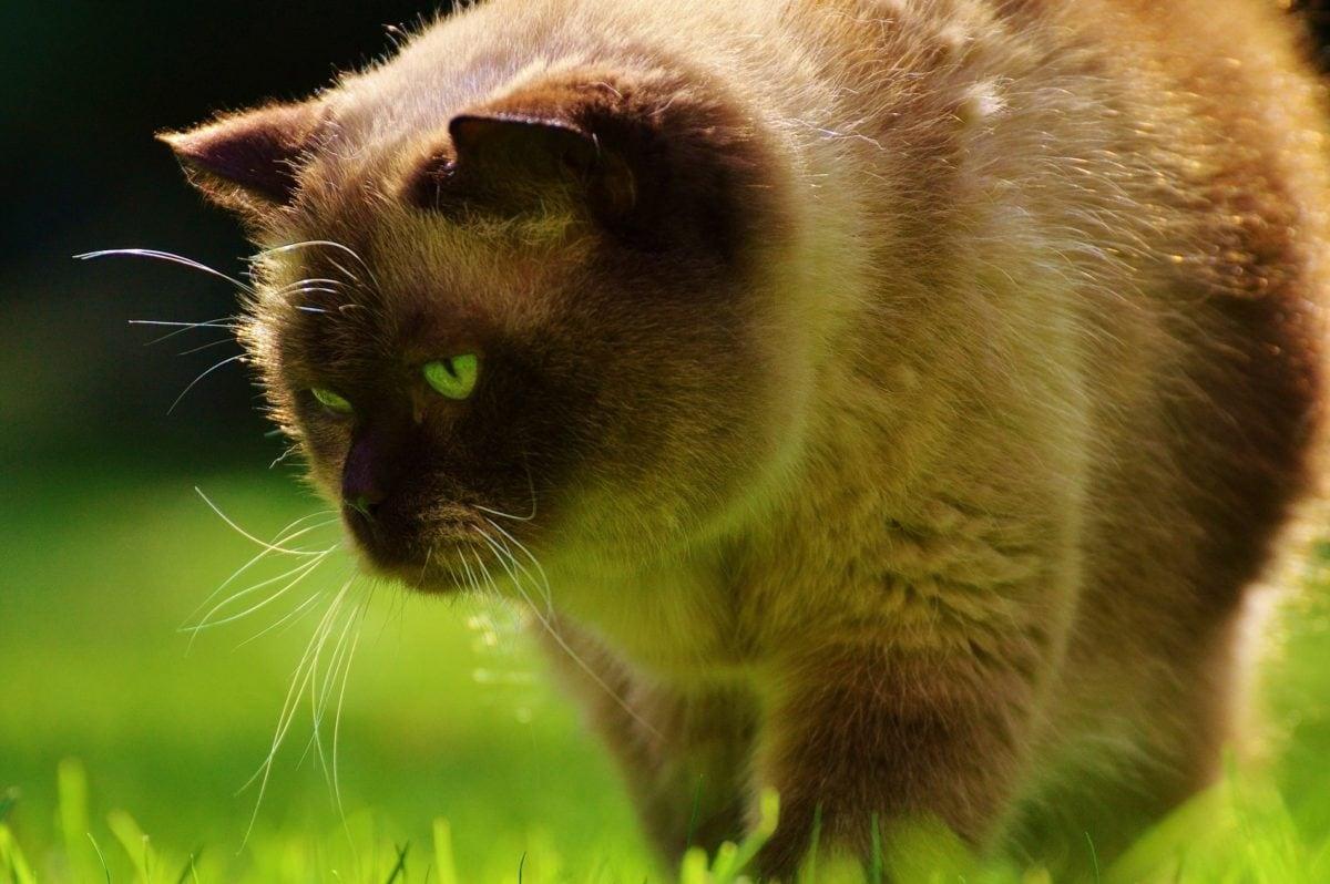 biljni i životinjski svijet, životinja, priroda, krzno, oko, slatka, mačka, mačkica, zoologija