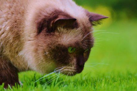животное, природа, трава, милый, домашний кот, кошачьи, мех, усы, зоология