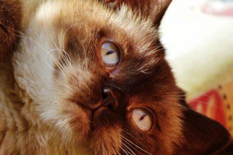 Retrato, gato doméstico, animal, gatito marrón, lindo, cabeza, ojo, gatito, felino