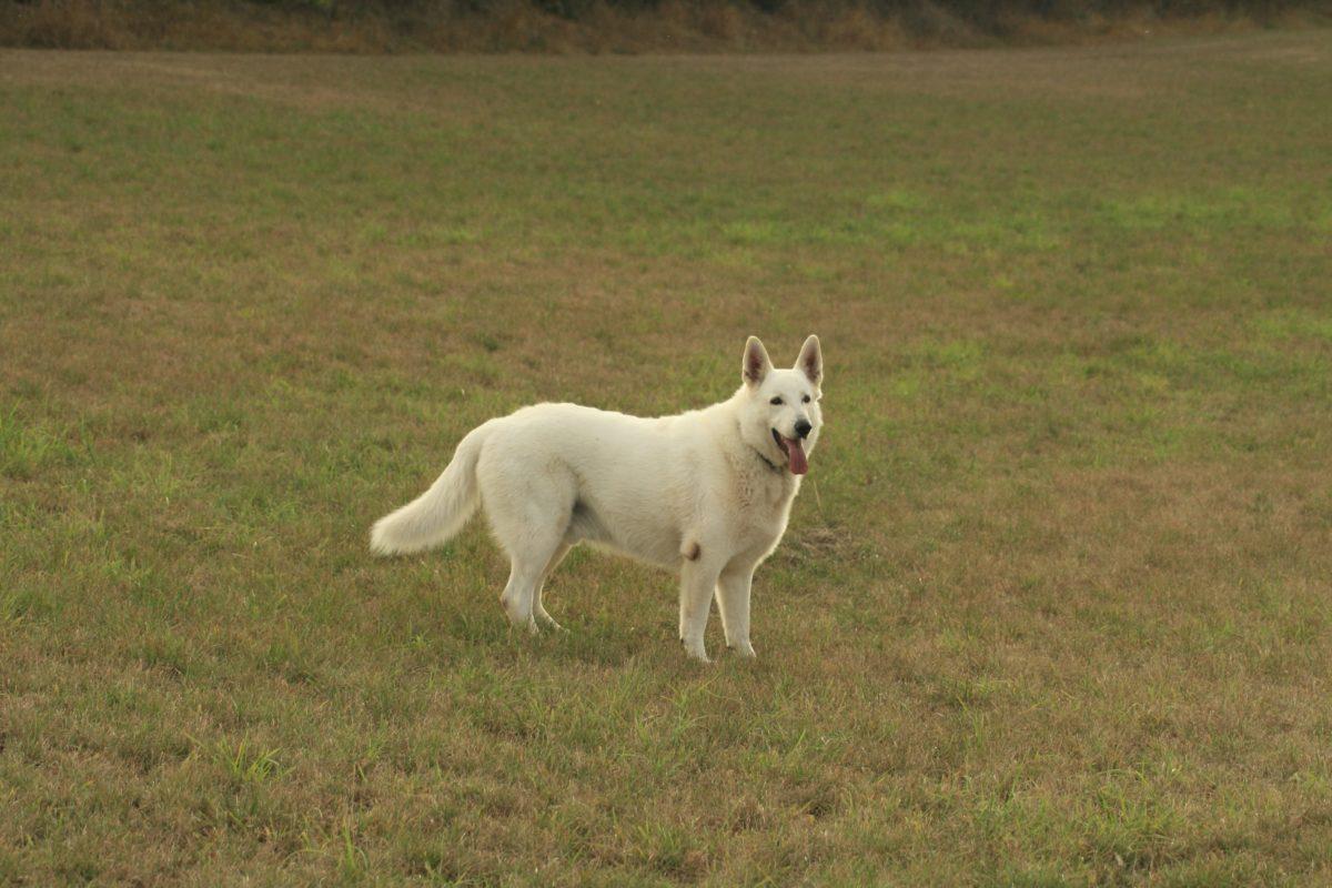 cão branco, campo, grama, animal, canino, pedigree, ao ar livre