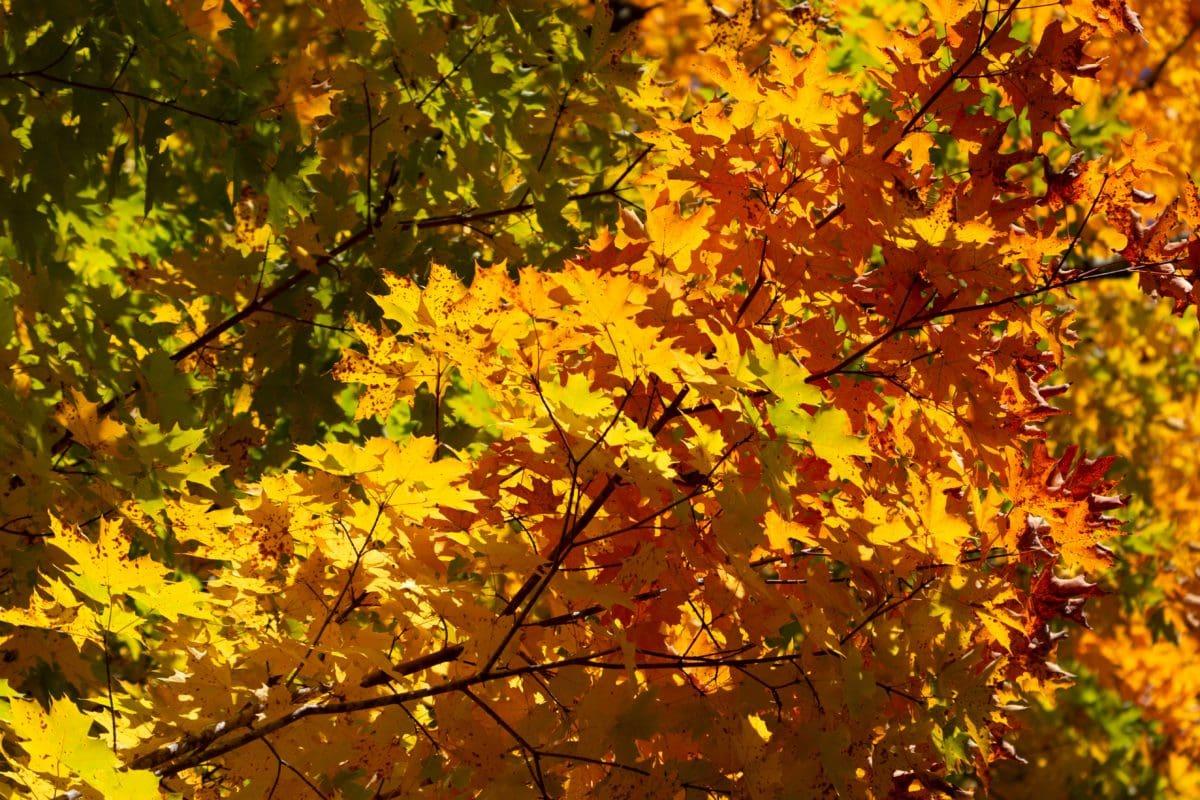 stablo, priroda, drvo, list, jesenja sezona, biljka, grana, šuma, lišće