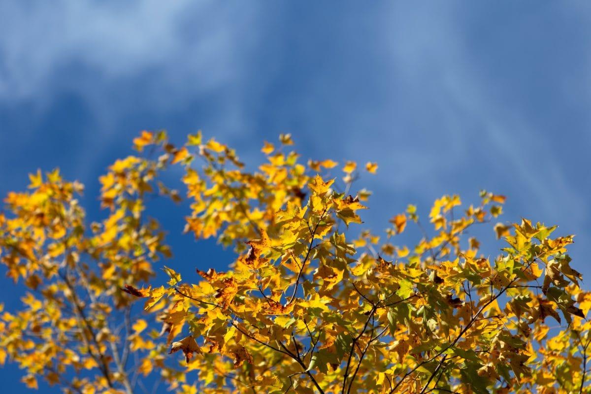 haara, puu, lehti, puu, luonto, kasvi, syksy, metsä, sininen taivas