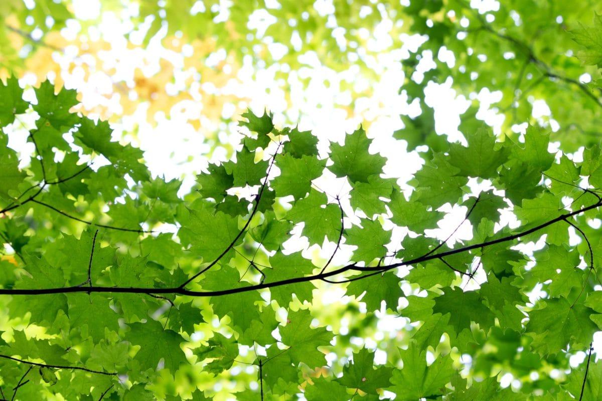 drvo, zeleni list, priroda, okolina, sunce, stablo, grana, biljka, šuma