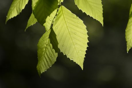 green leaf, nature, rain, dew, tree, plant, foliage, forest, birch, summer
