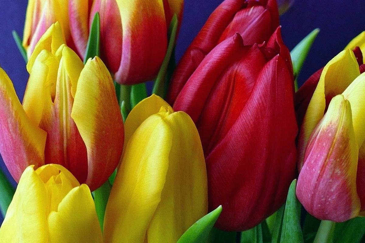 garden, nature, tulip flower, plant, blossom, petal, bloom