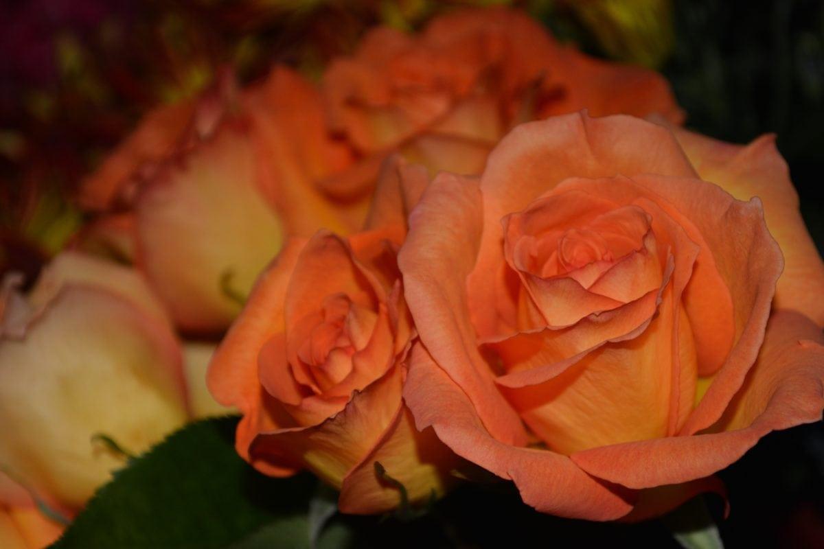 virág, szirom, szeretet, rózsaszín rózsa, növény, szirmok, virágos