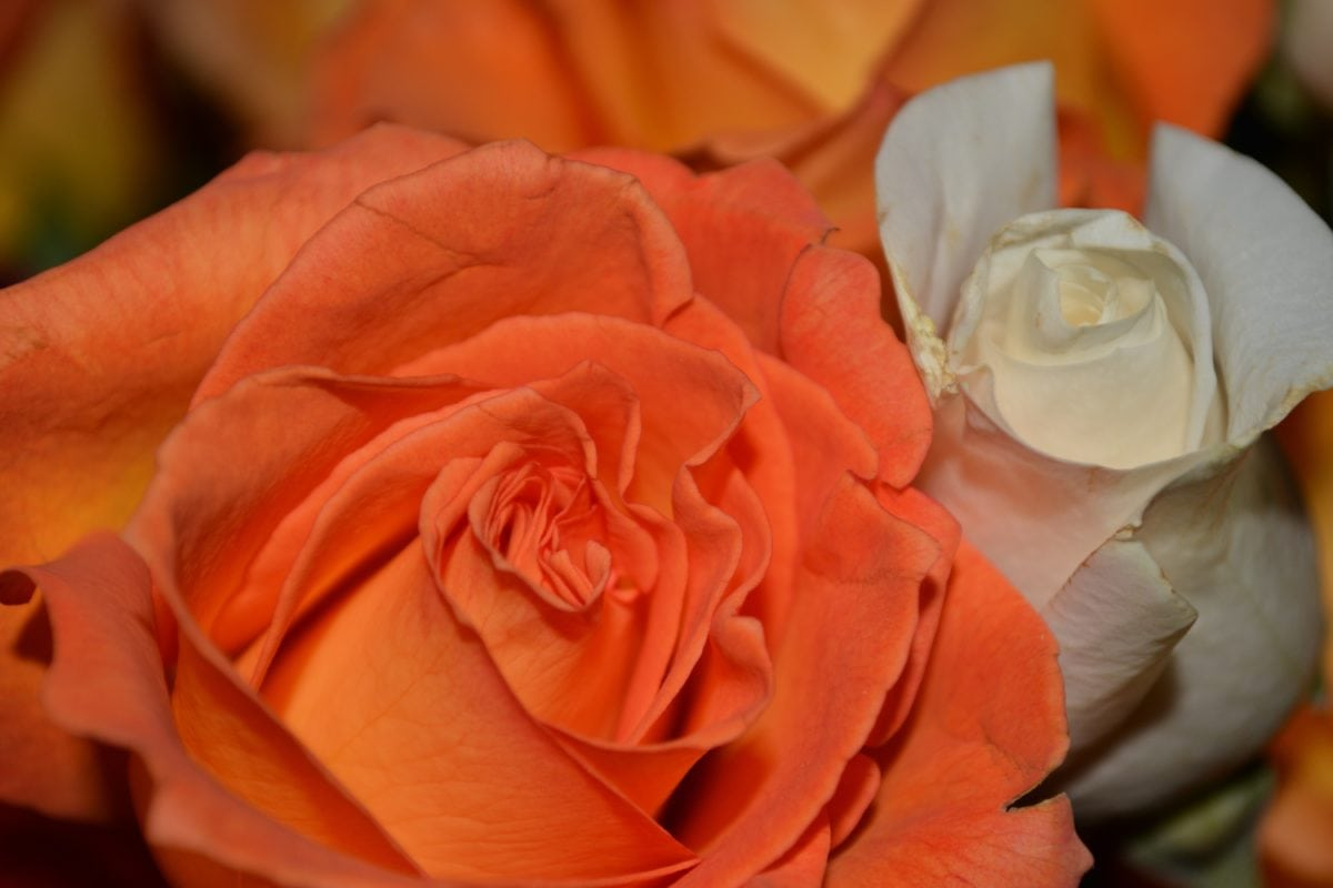 růže, květ bud, kytice, okvětní lístek, rostlina, okvětní lístky, Bloom, indoor