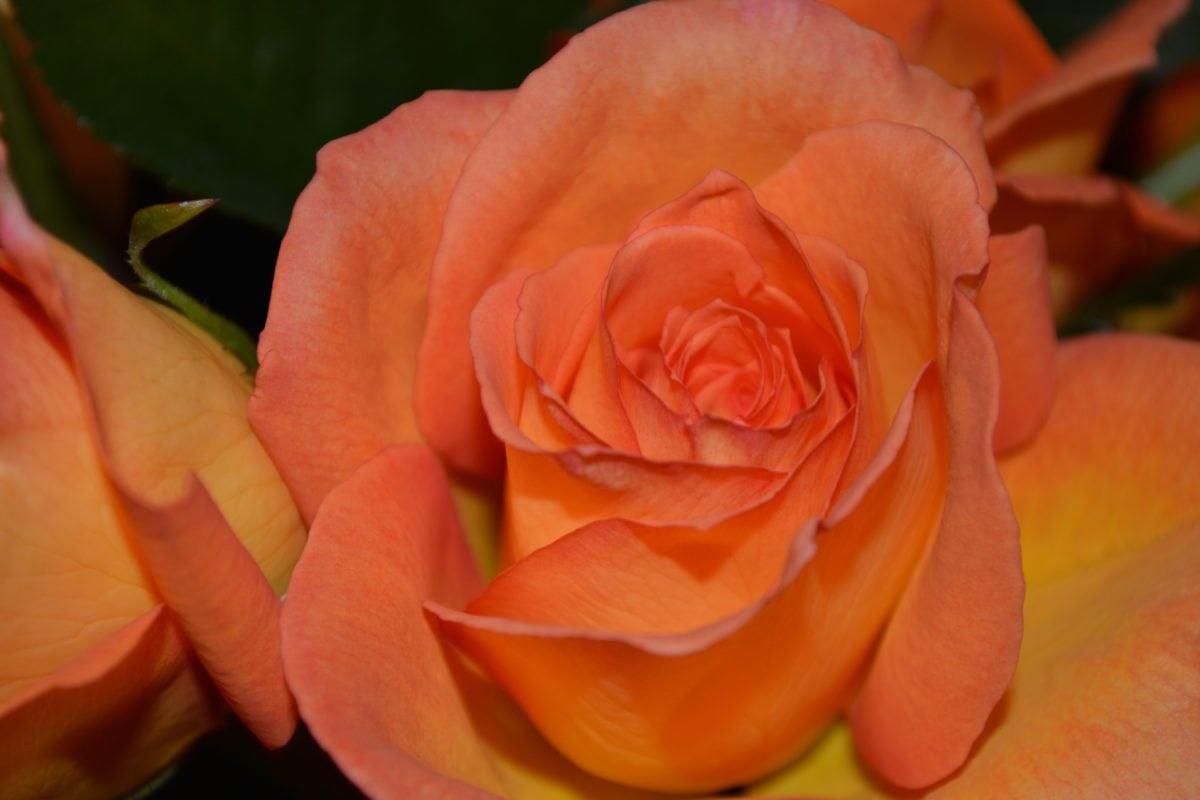 rose, nature, flower bud, bouquet, petal, plant, bloom, petals