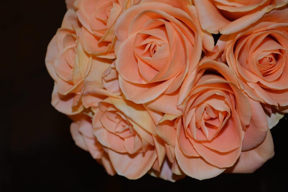 цвете, венчелистче, роза пъпка, венчелистчета, разцвет, растение, цвят, Градина