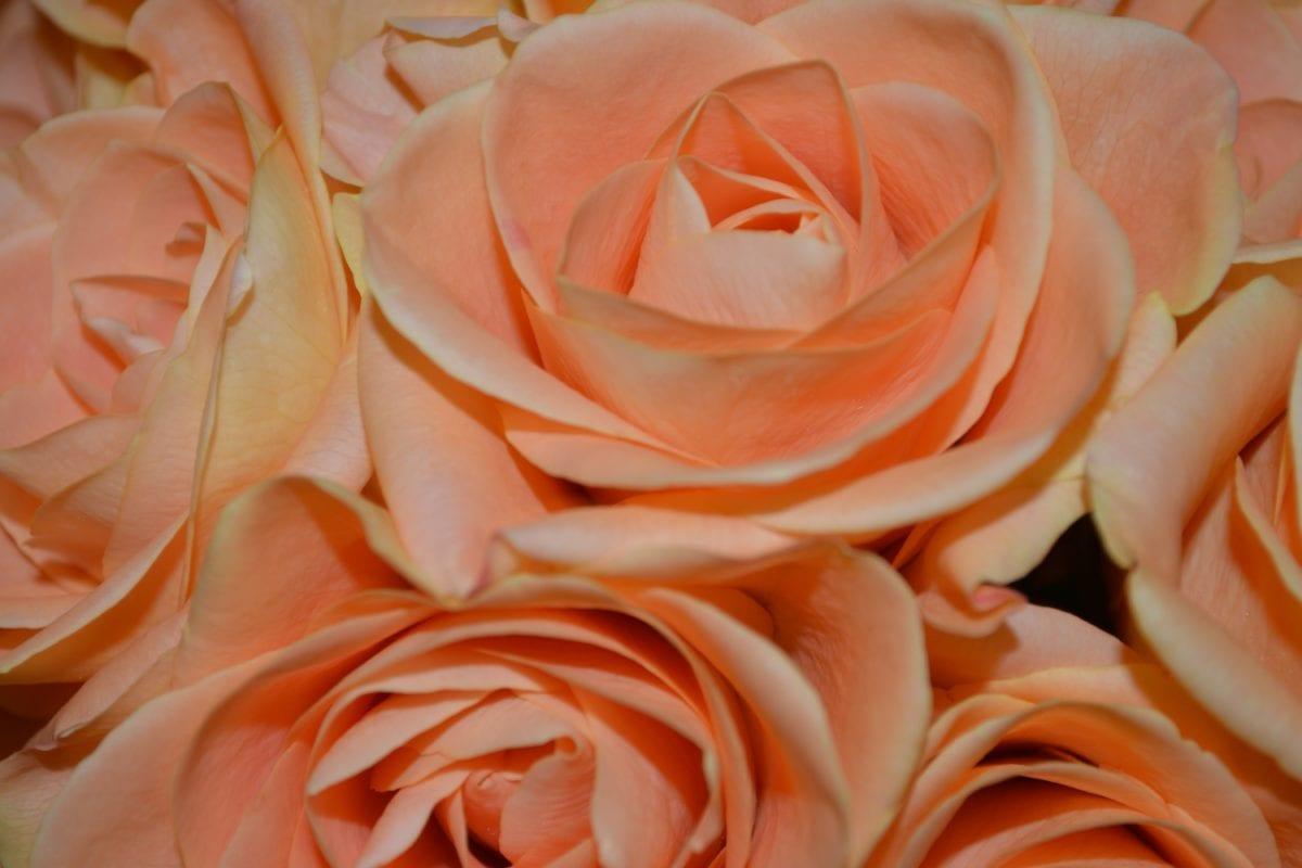 petal, flower, rose bud, plant, pink, petals, bloom, bouquet, indoor