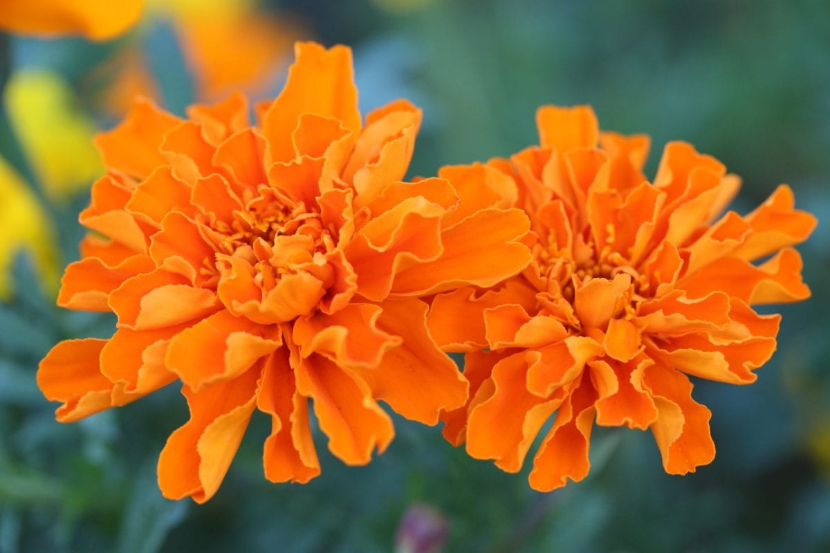花びら、庭、葉、花、夏、自然、マダラ、ハーブ
