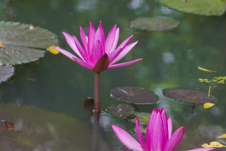leaf, lotus, nature, water lily, flower, garden, summer, exotic herb