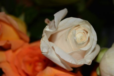 flower, rose bouquet, flower bud, petal, plant, indoor