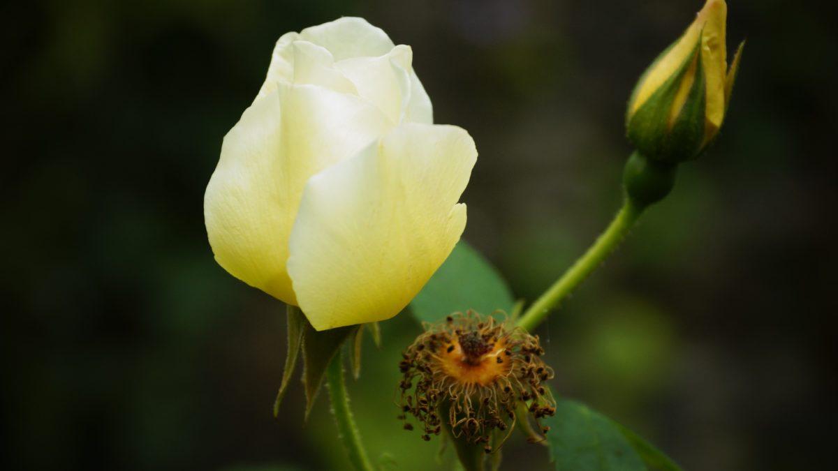 nature, leaf, yellow flower, garden, rose bud, plant, petal, bloom, blossom