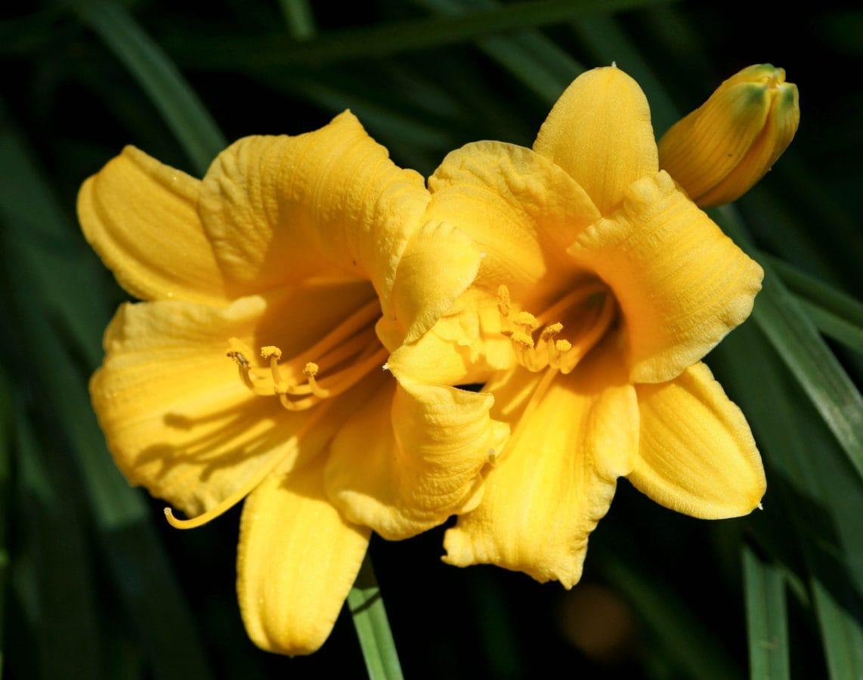 Leaf, sommer, blomst, hage, påskelilje, natur, Narcissus