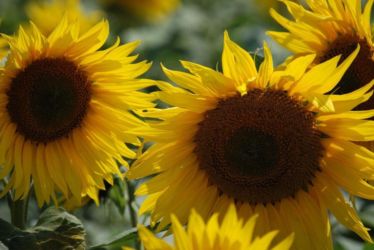 flor, Pétalo, girasol, naturaleza, hoja, verano, hermoso, agricultura