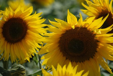 flower, petal, sunflower, nature, leaf, summer, beautiful, agriculture