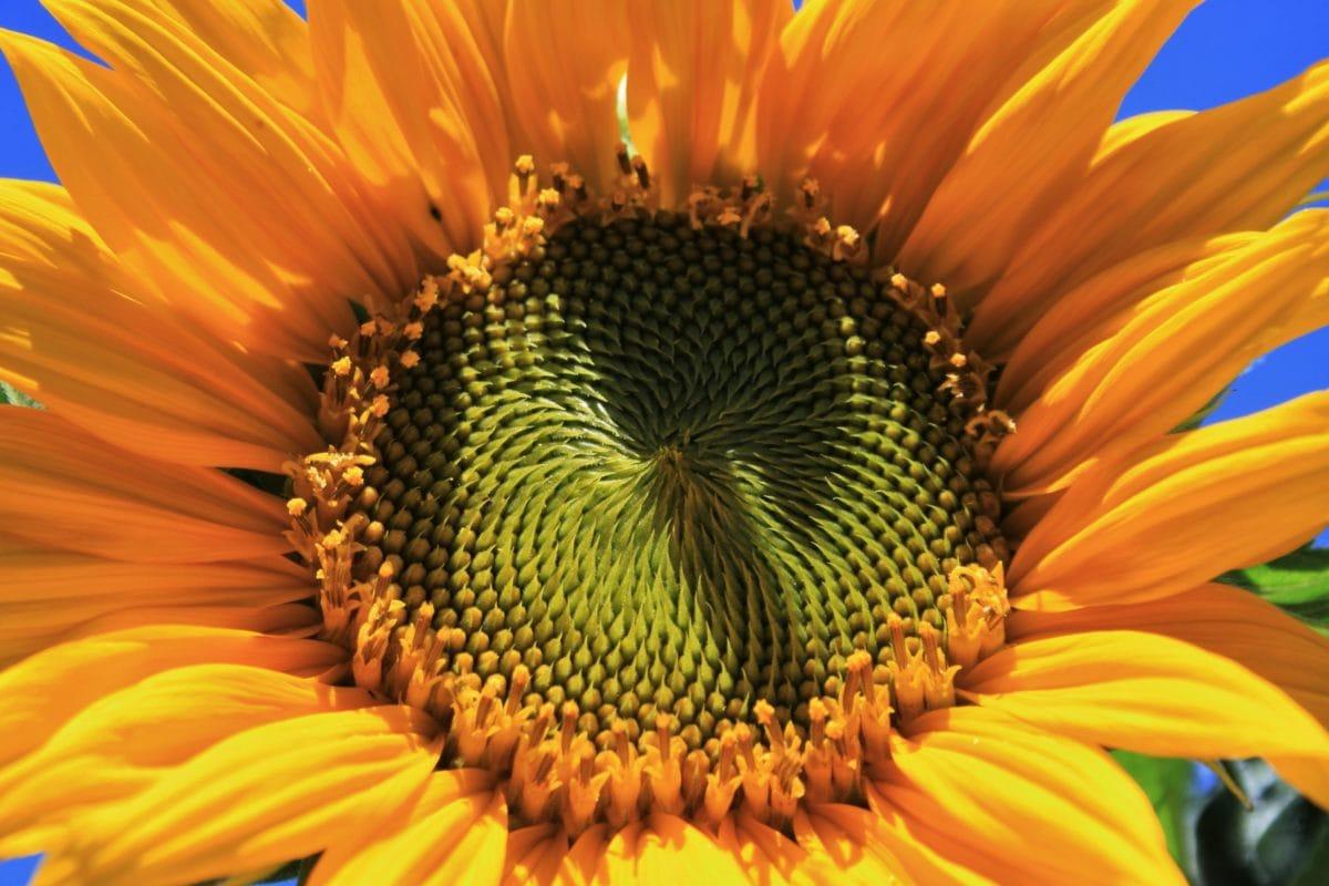 alam, musim panas, bunga matahari, bunga, kelopak, tanaman, berjemur, mekar