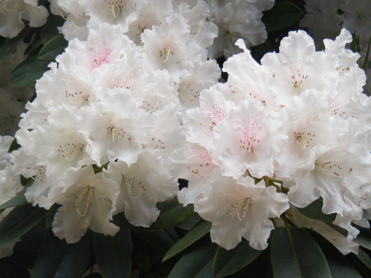 Blatt, Natur, weiße Blume, Rhododendron, Pflanze, Blüte