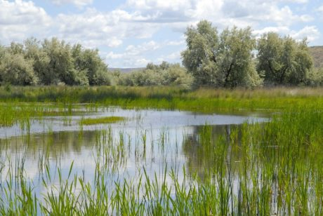 rákos, tráva, voda, bažina, příroda, krajina, jezero, reflexe