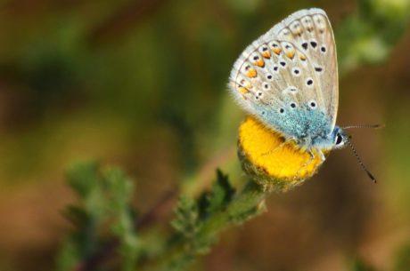 motýl, hmyz, příroda, modrá, květiny, rostliny, květy, zvíře