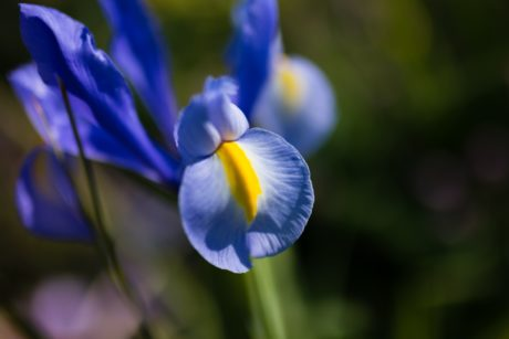 nature, leaf, flower, plant, blue iris, bloom, petal, blossom