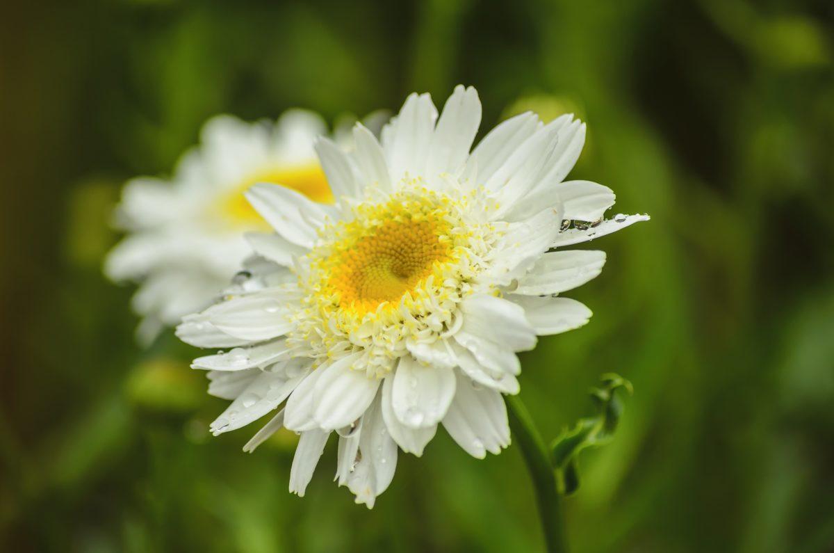 campo de flor, natureza, pétala, verão, flor branca, planta, flor