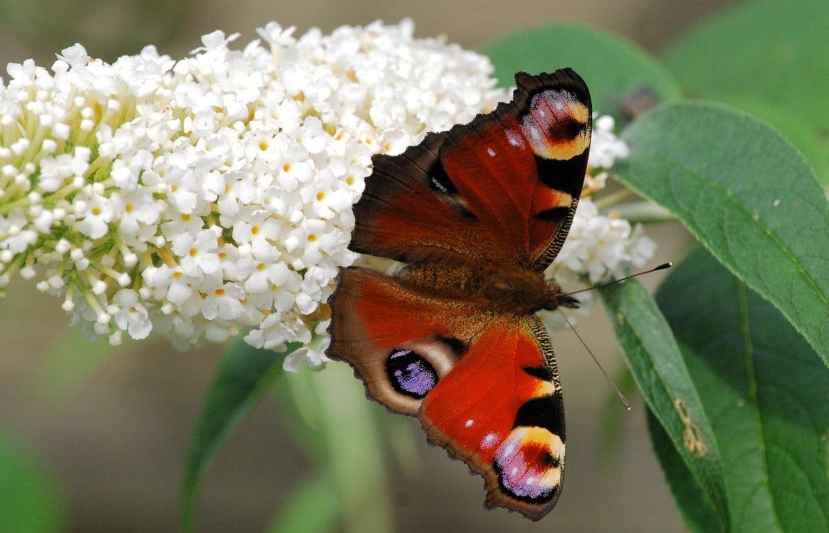insekt, blomst, farverige sommerfugl, natur, have