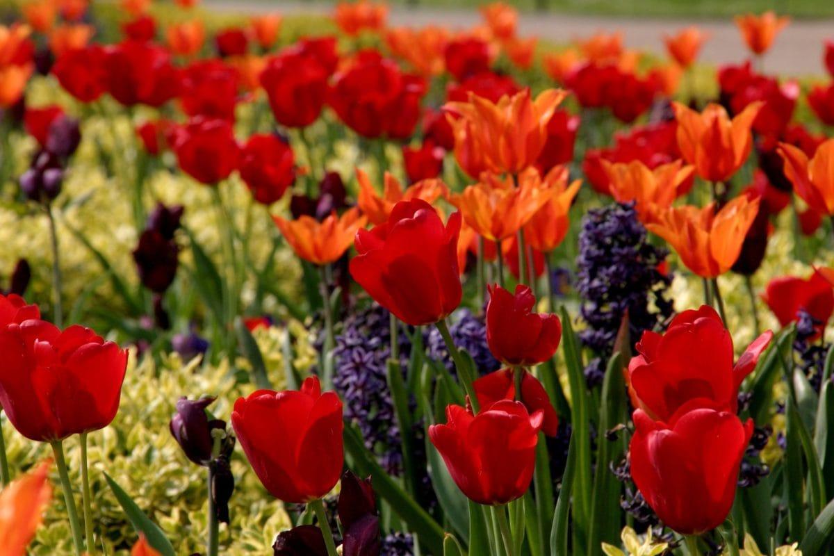 sommer, natur, blad, have, tulipan blomst, Mark, plante