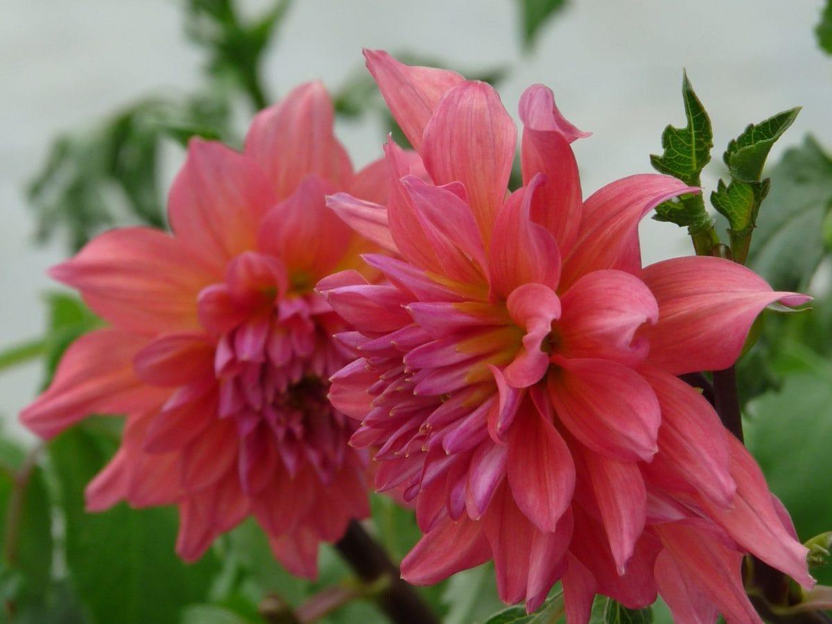 花びら、自然、花の庭、葉、夏、ピンク、植物