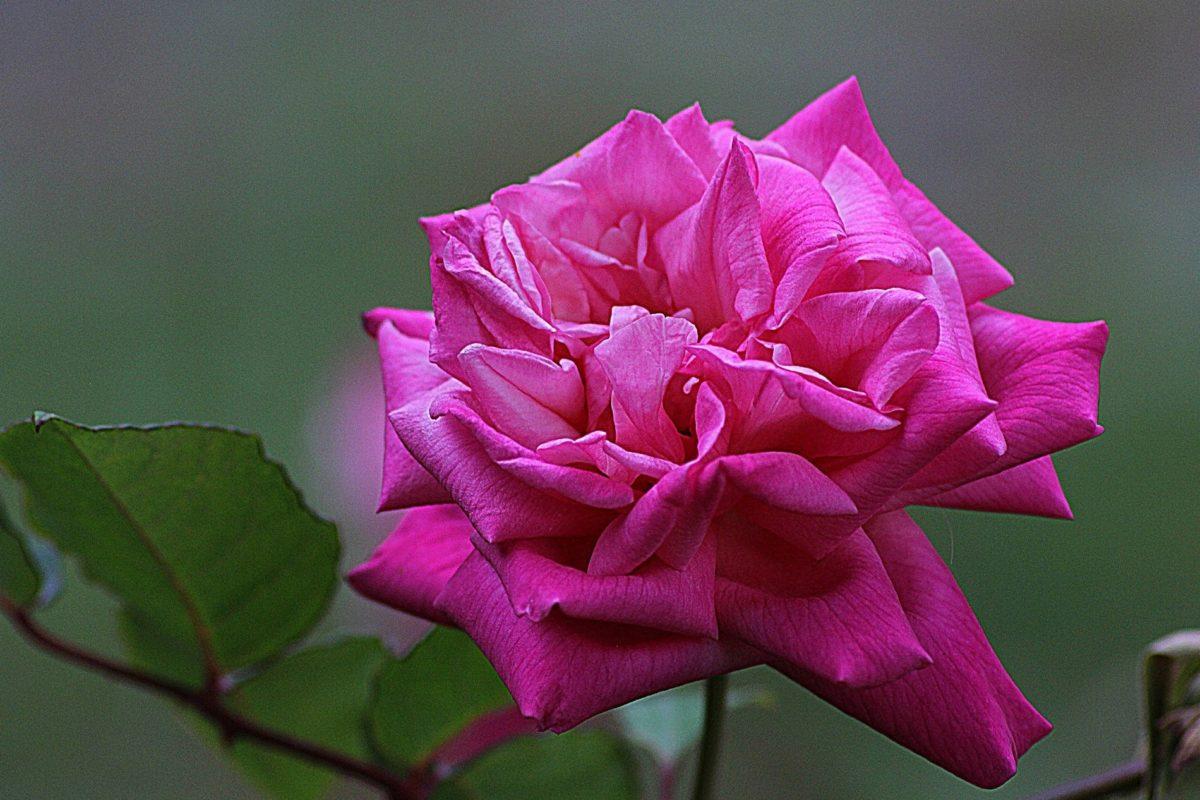 バラの花、自然、葉、紫色の花、花びら、ピンク、植物、庭、花