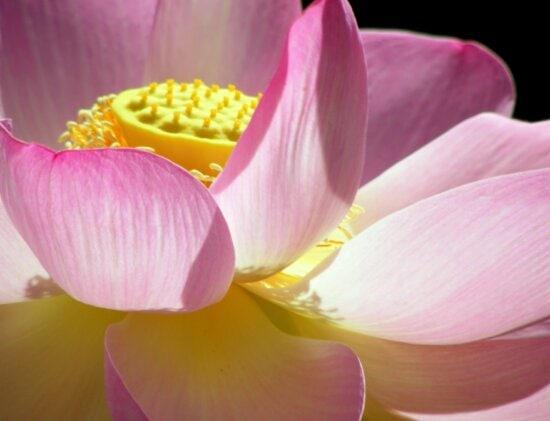 aquatique, nature, beau, fleur, pétale, Lotus, fleur de coussin de lis, jardin