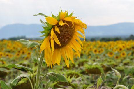 自然, 夏天, 领域, 向日葵, 花, 农业, 植物
