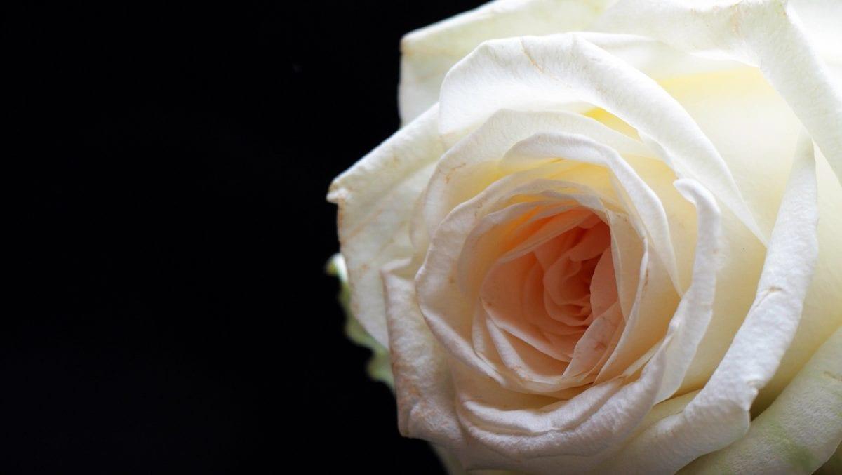 Blütenblätter, weiße Rosenblüte, weiß