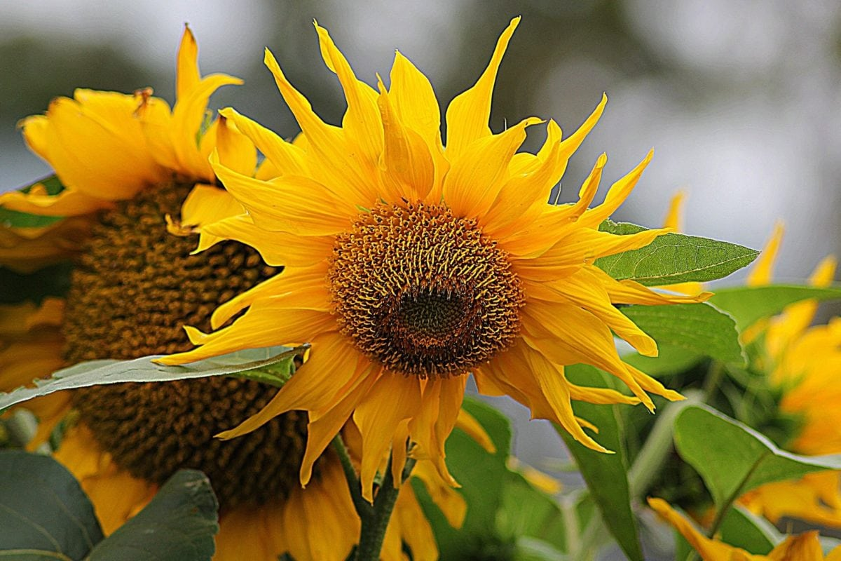 nature, flower, leaf, sunflower, summer season, field, agriculture