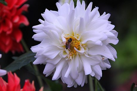 white flower, bee, insect, nature, garden, petal, plant, blossom, pollen